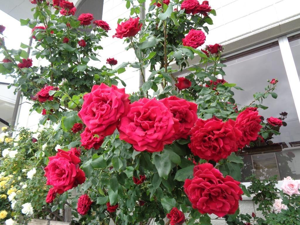 会社のバラが咲きました!